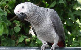 Какой попугай самый умный в мире