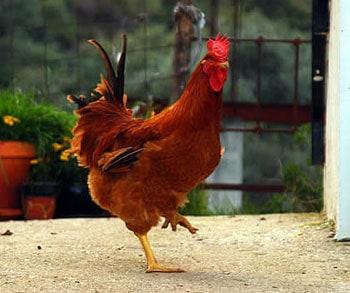 Красная курица - символ Род-Айленда