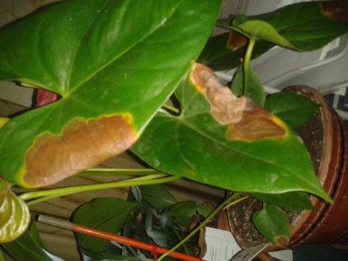 Коричневые края листьев