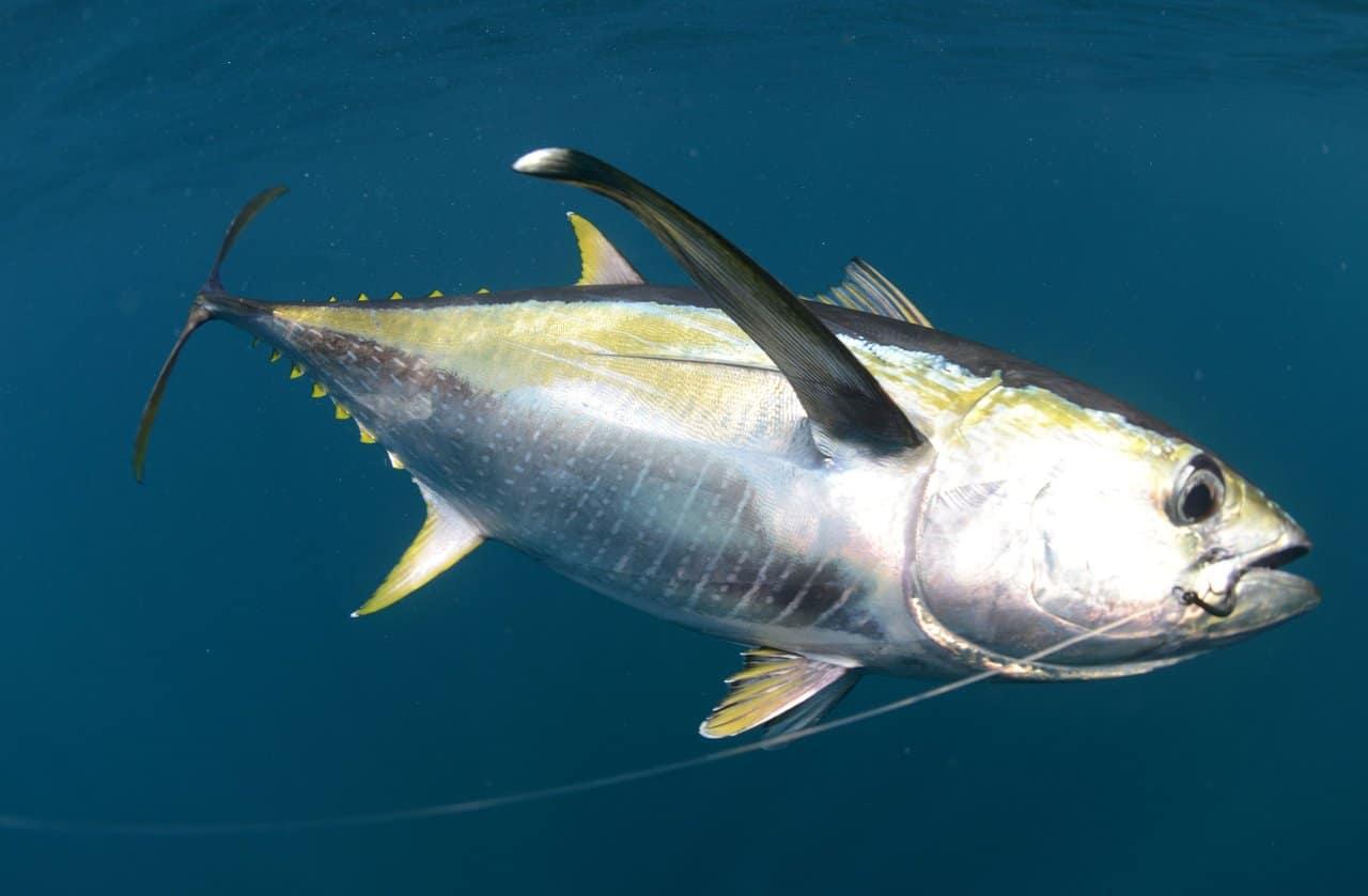 Жёлтый тунец