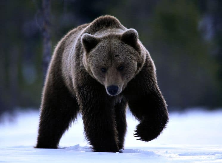 Бурый медведь – «гризли»
