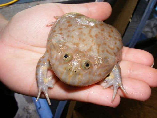 Лягушка Баджита (Злая щитоспинка)