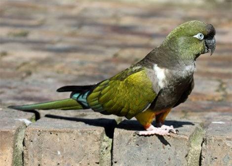Скалистый попугай