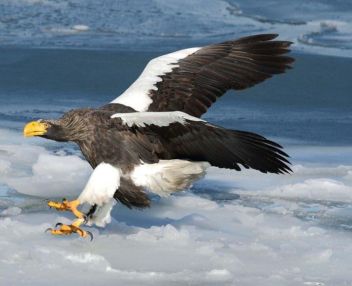 Белоплечий орлан
