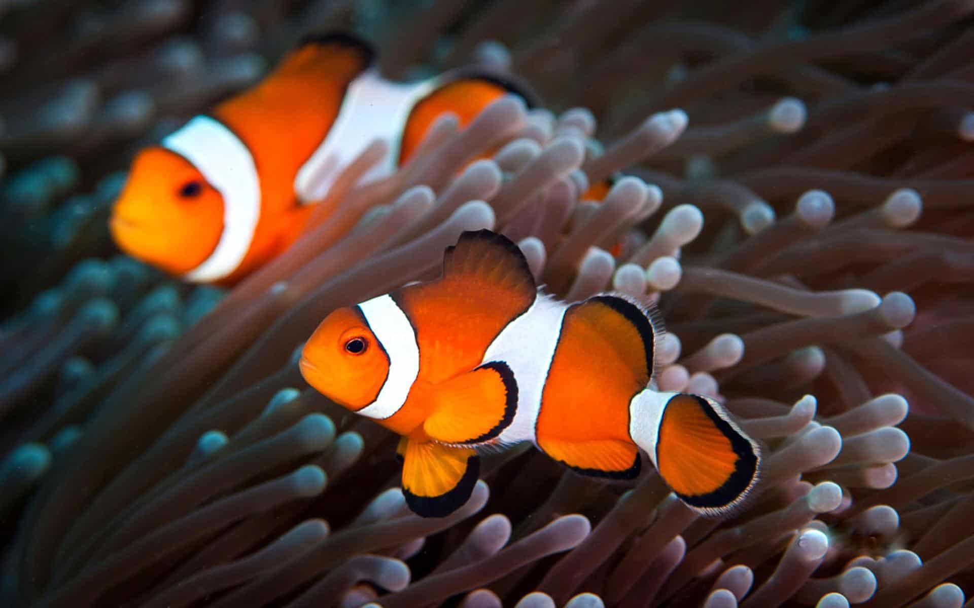 Рыбы клоуны