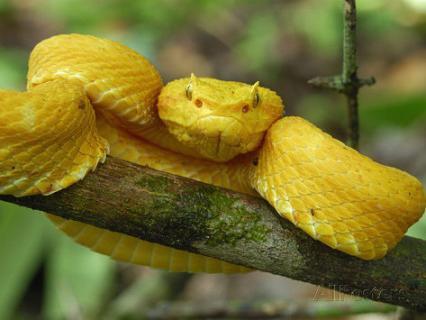 Цепкохвостый ботропс Шлегеля