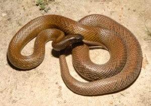 Тайпан - жестокая змея